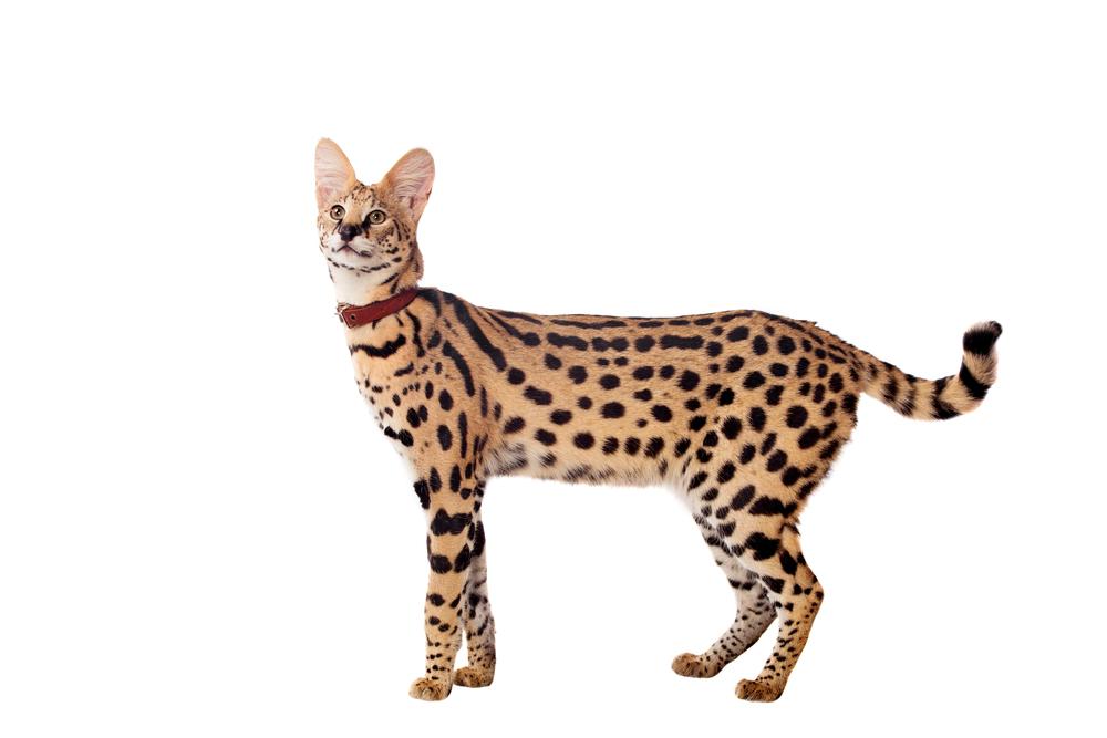 【飼育方法】サーバルキャット(Serval [Leptailurus serval])【哺乳類】