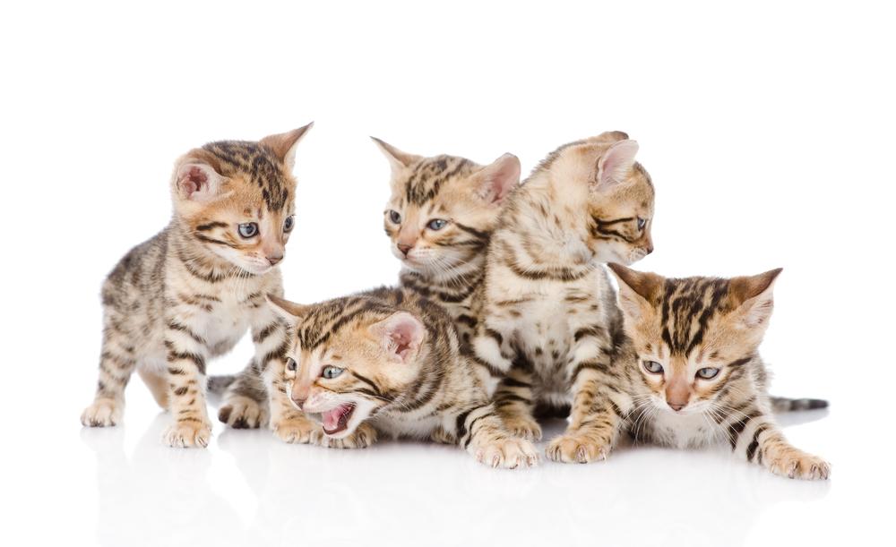 【飼育方法】ベンガル猫(Bengal Cat)【哺乳類】