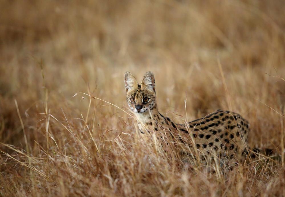 【生態について】サーバルキャット(Serval [Leptailurus serval])【哺乳類】