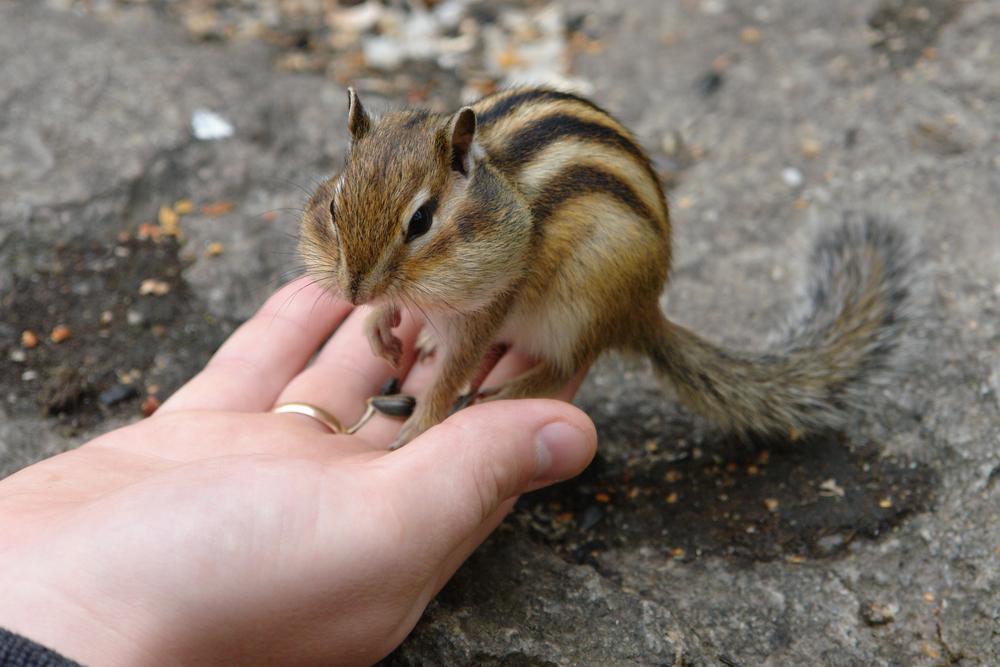 【飼育方法】シマリス(Chipmunk [Tamias])【哺乳類】