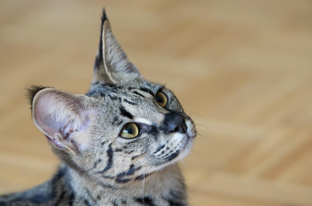 【飼育方法】サバンナキャット(Savannah Cat)【哺乳類】