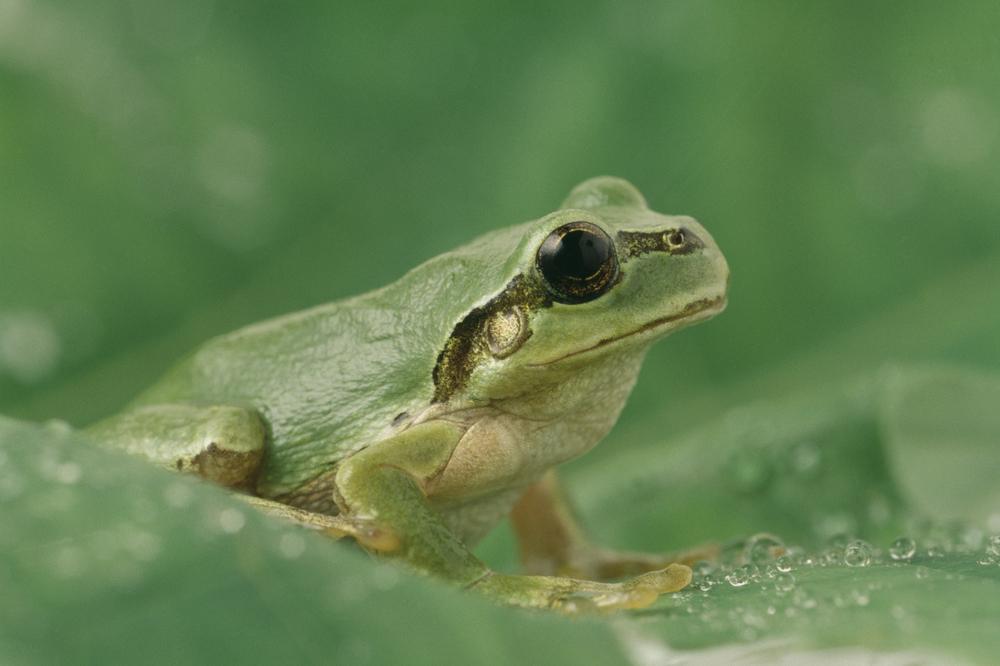 【飼育方法】ニホンアマガエル(Japanese Tree Frog [Hyla japonica])【両生類】